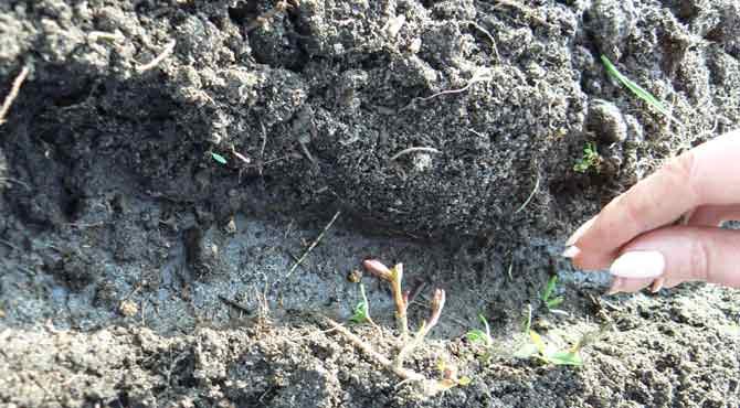 Когда сажать свеклу в 2021 году на рассаду и в открытый грунт: сроки и правила посева семян свеклы, уход и хранение свеклы на зиму