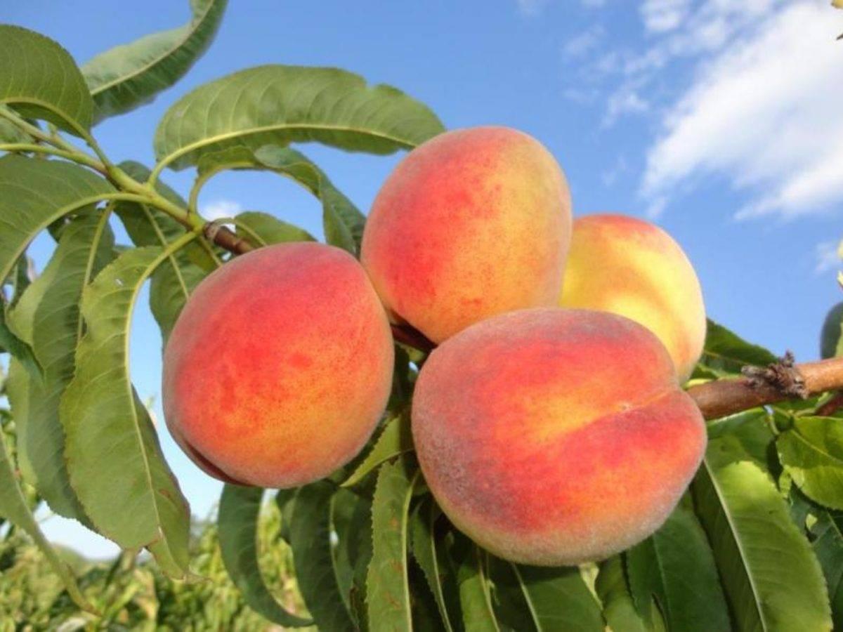 Лучшие сорта персика для краснодарского края – уход и размножение