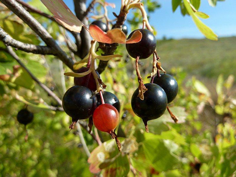 Черная смородина посадка и уход, выращивание, фото