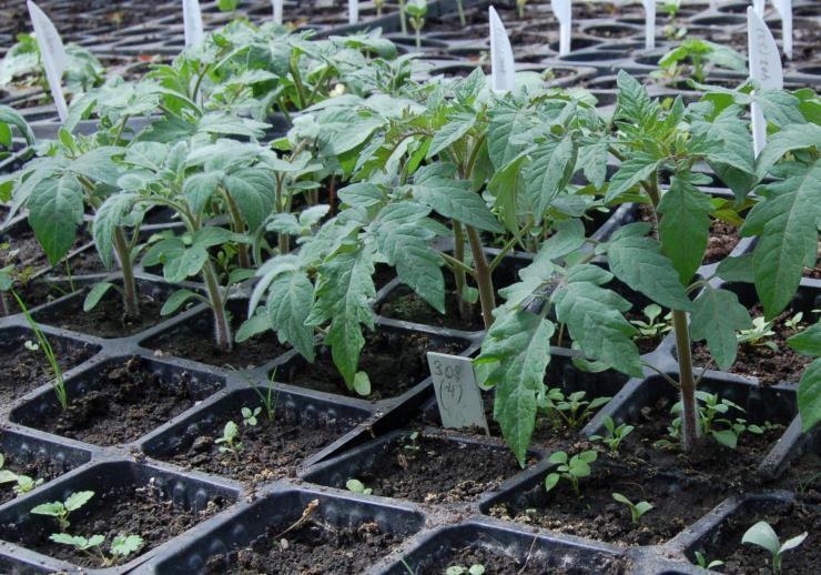 Как выбрать сорт помидоров для выращивания в Украины и когда садить на рассаду
