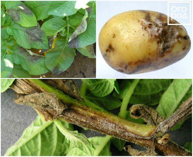 ᐉ почему почернела ботва картофеля: возможные причины и решения - roza-zanoza.ru