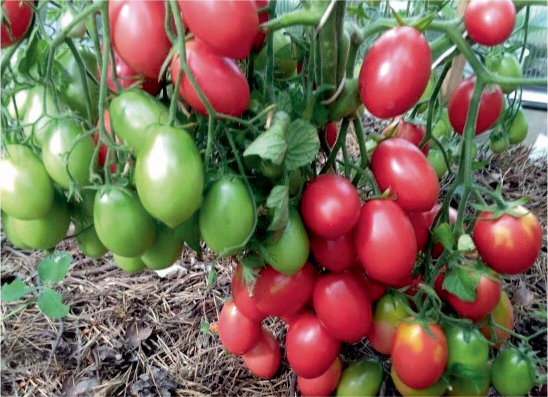 Ранние сорта помидор - обзор самых популярных ранних сортов томатов и нюансов их выращивания