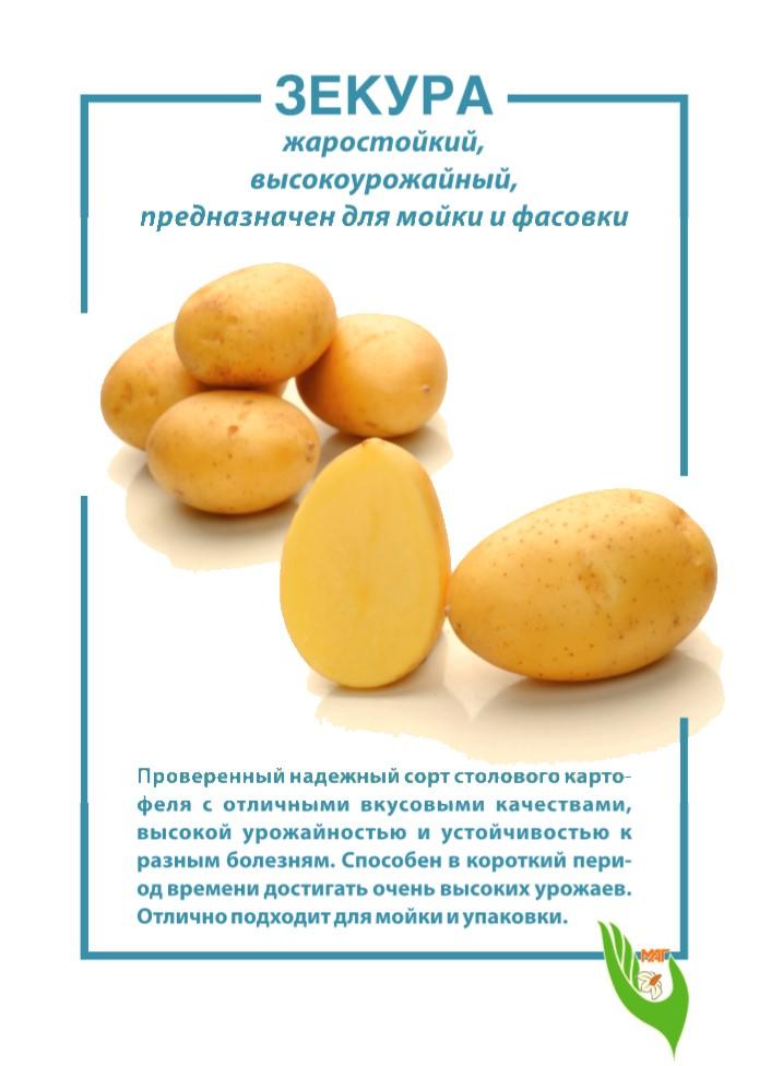 Описание сорта картофеля зекура, его характеристика и урожайность - всё про сады