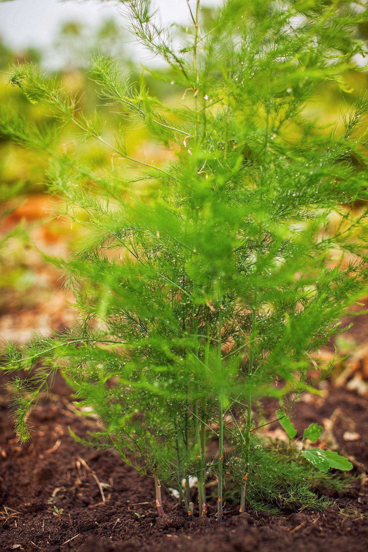 Растение аспарагус: фото и уход в домашних условиях