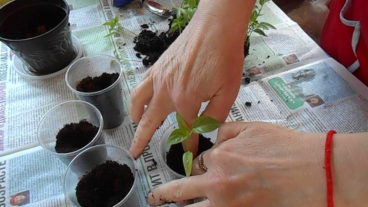Когда и как следует пересаживать рассаду помидор