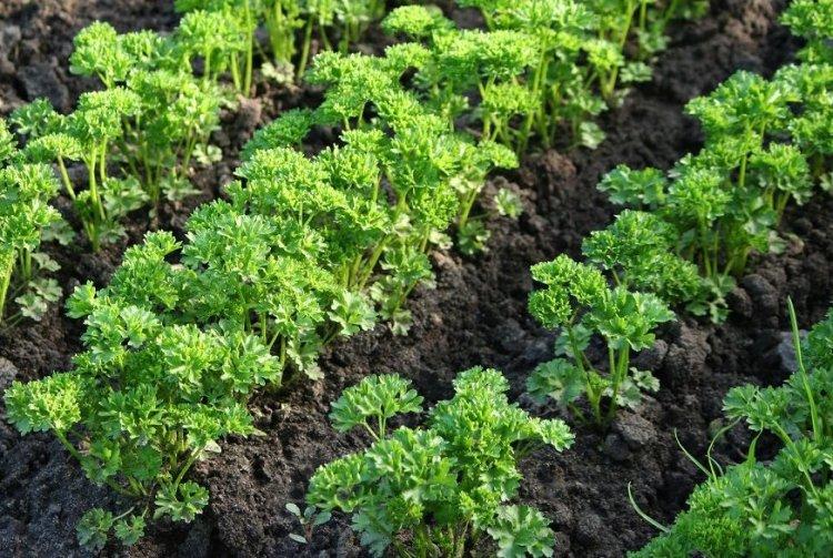 Как правильно вырастить фенхель? – как получить растение из семян и рассады на ydoo.info