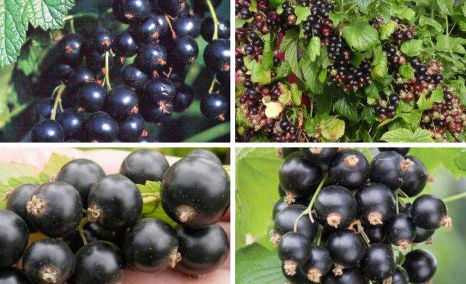 Черная смородина перун: описание сорта, фото, отзывы