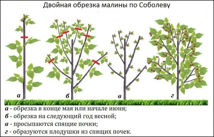Ремонтантная малина: как получить богатый урожай ягод, личный опыт на supersadovnik.ru
