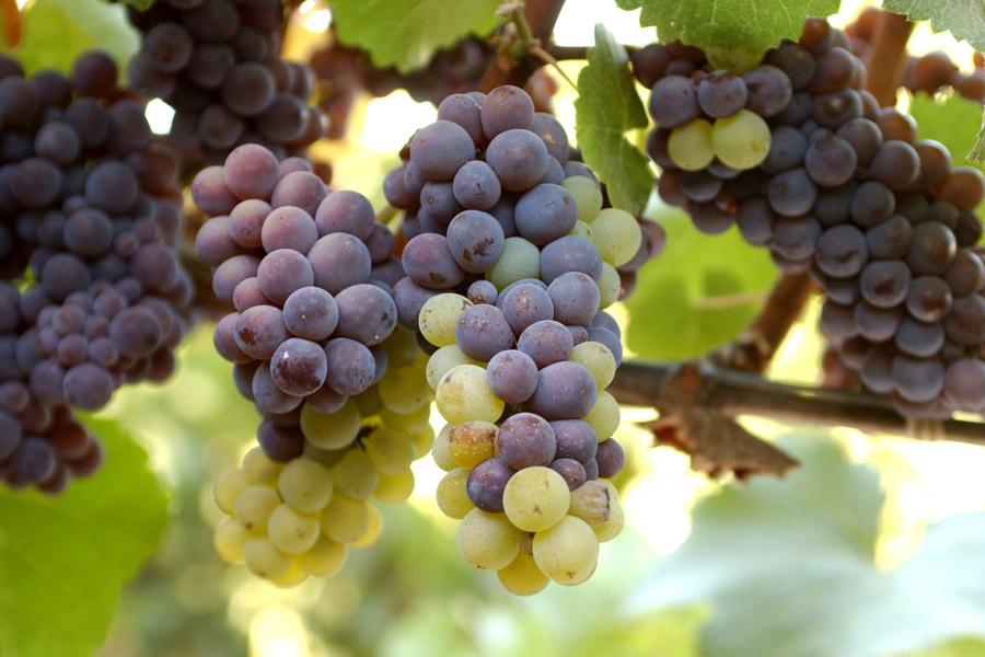 Виноград пино нуар: селекция, описание, посадка и уход, достоинства, известные вина, отзывы