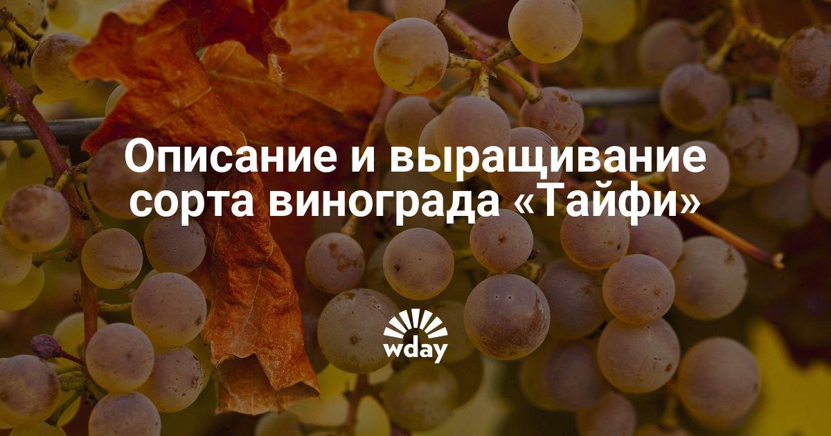 Виноград тайфи: обзор полезных свойств и особенности выращивания