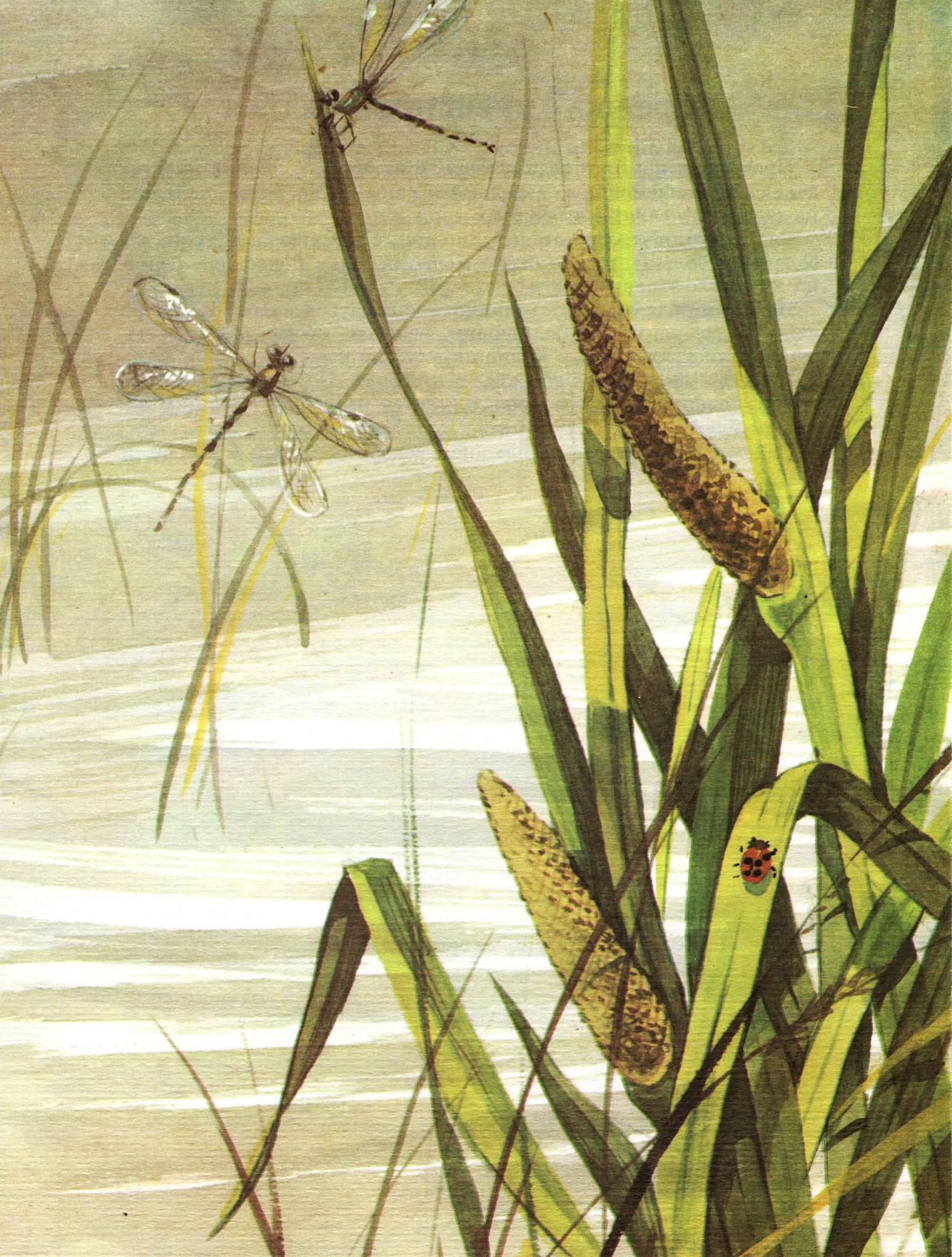 Рогоз: фото - описание и особенности растения