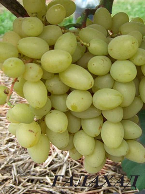 Виноград галахад: описание сорта, уход, выращивание и отзывы