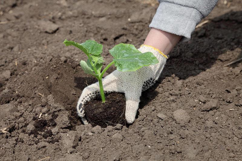 Высадка рассады огурцов в открытый грунт - как и когда высаживать