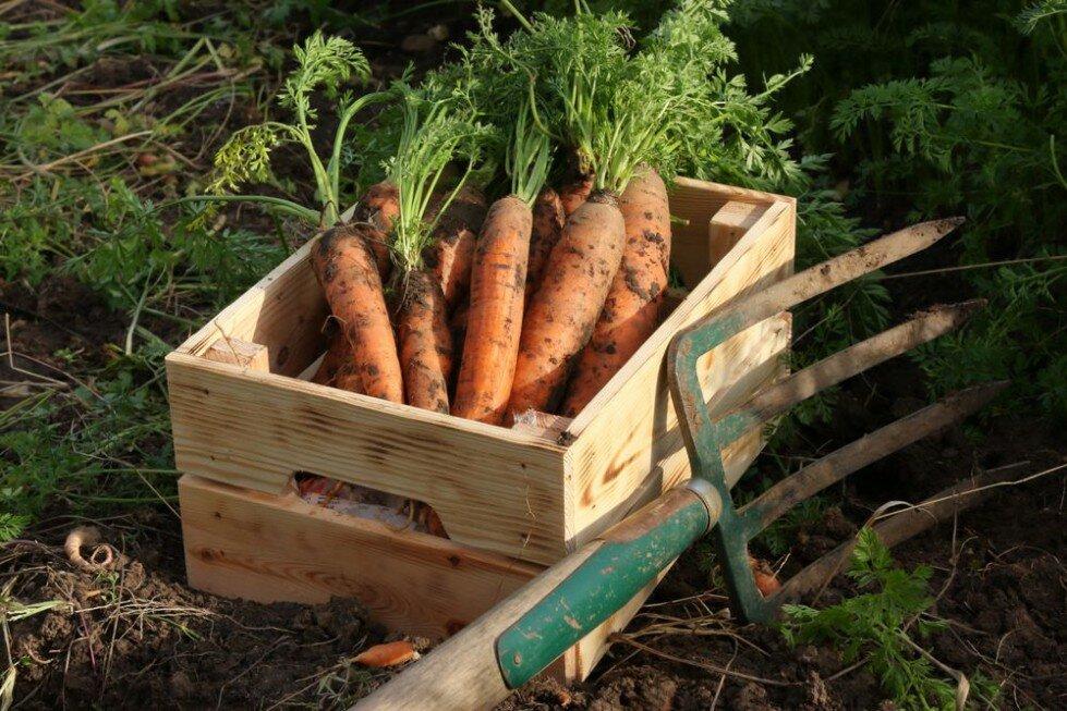 Когда и как правильно убирать морковь с грядки на зимнее хранение: признаки созревания моркови, сроки, советы от бывалых огородников