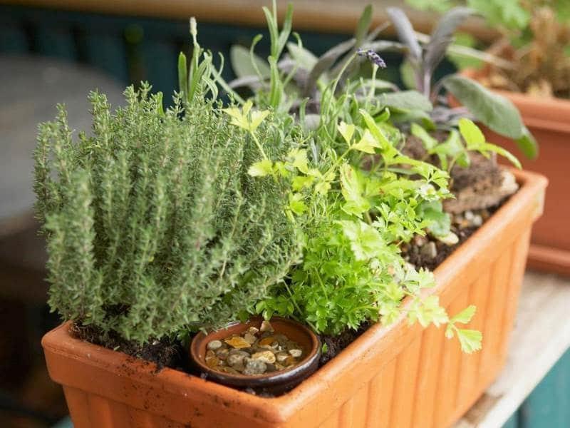 Розмарин в квартире: секреты успешного выращивания в домашних условиях