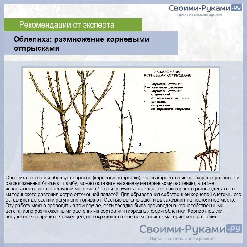 Размножение облепихи: черенками, опрысками и из семян в домашних условиях осенью и летом