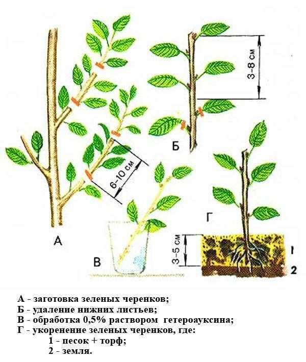 Размножение голубики - проверенные способы и секреты опытных садоводов (100 фото и видео)
