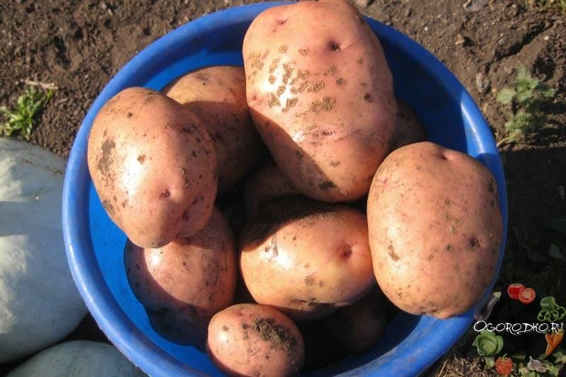Картофель лорх – описание сорта, фото, отзывы