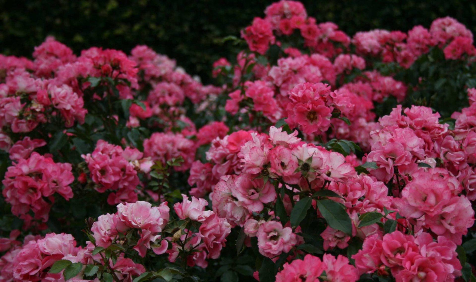 Почвопокровные розы: уход и выращивание великолепных цветов