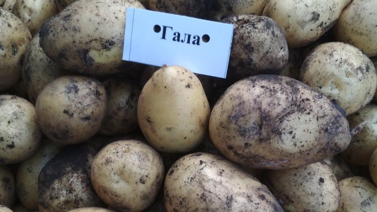 Сорт картофеля гала - описание, уход и другие особенности
