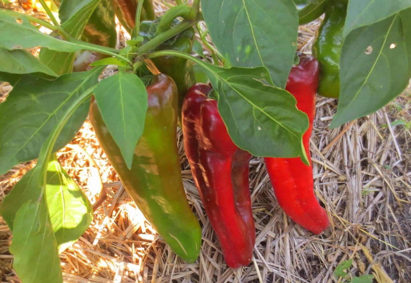 Перец «воловье ухо»: отзывы садоводов, фото, урожайность, характеристика сорта