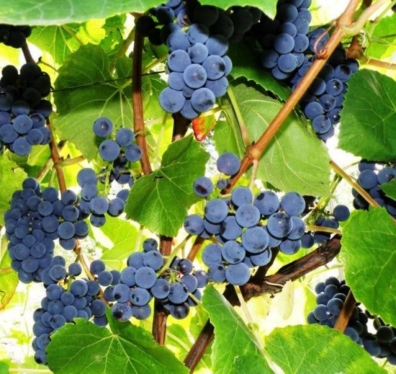 Селекция винограда в домашних условиях - как вывести новый сорт