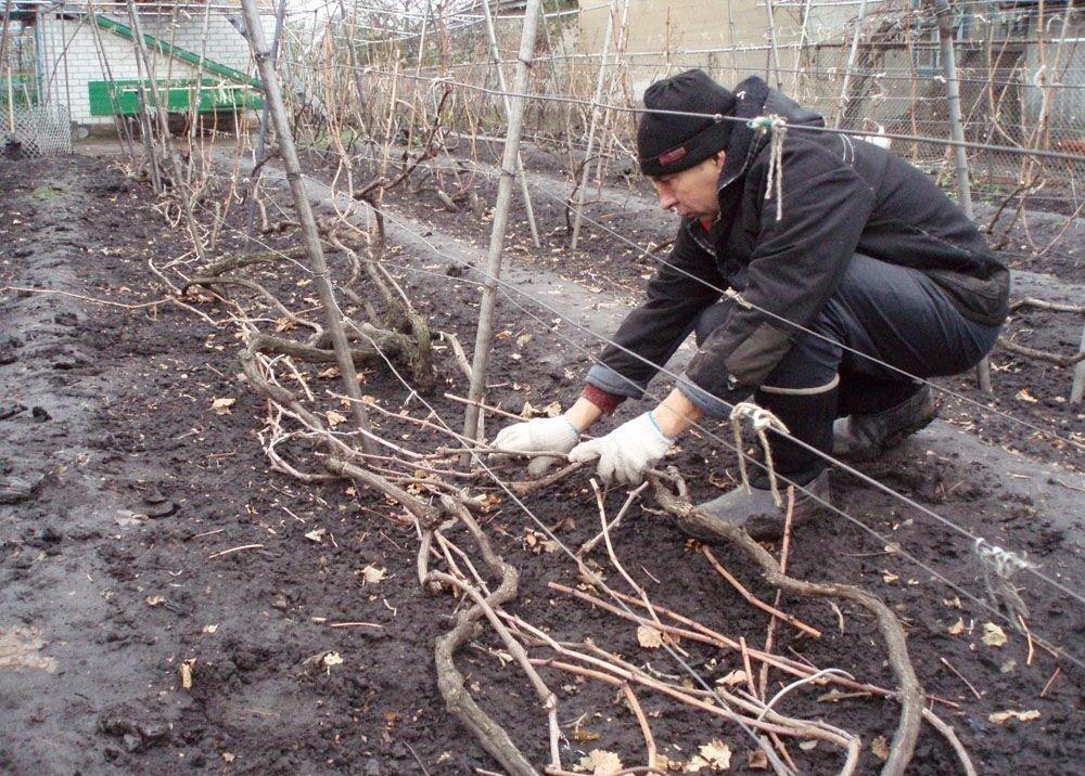 Как укрыть виноград на зиму? подготовка виноградника к зиме. фото — ботаничка.ru