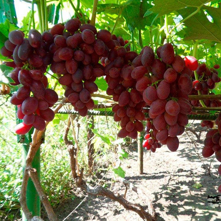 Описание сорта винограда гала и уход за ним