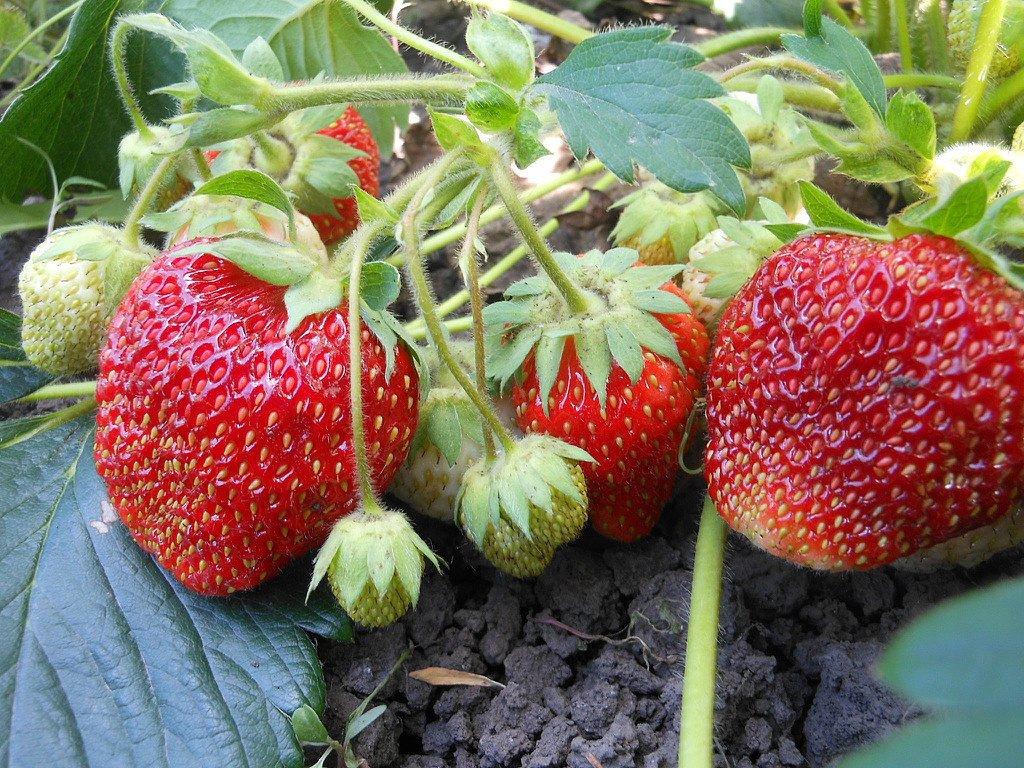 Вьющаяся клубника: уход и выращивание, правда и мифы