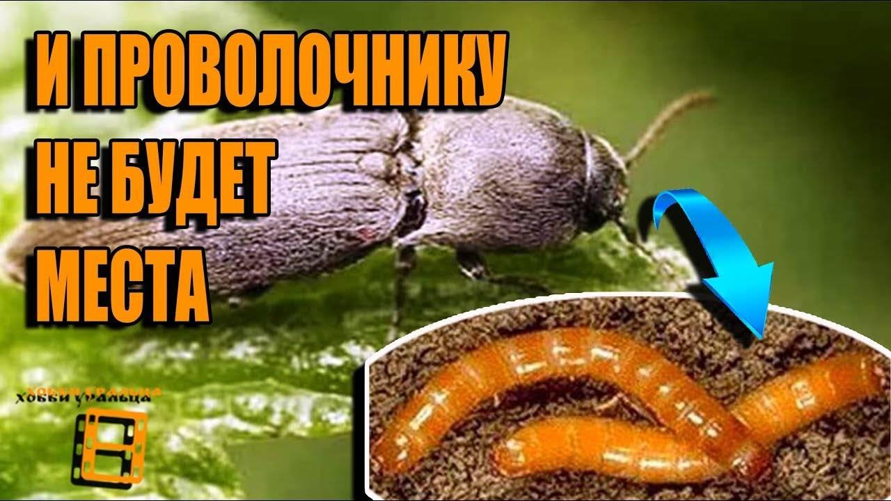 Жук короед: как избавиться, средства и обработка, фото жука