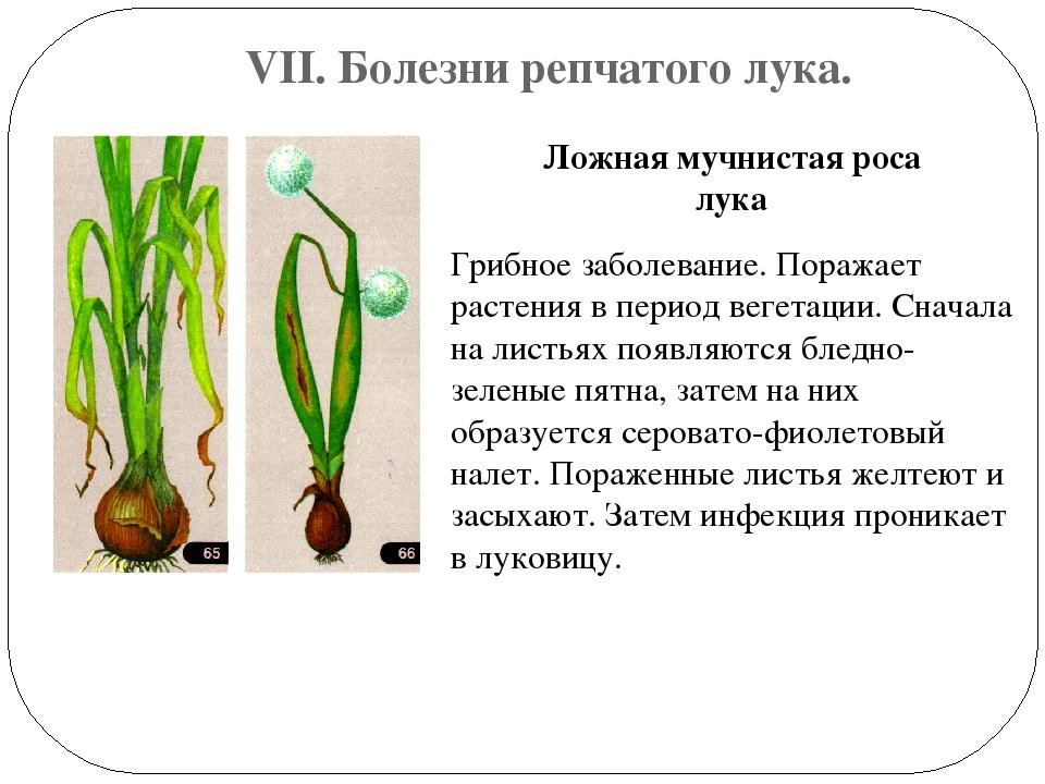 Мучнистая роса на луке: фото, как с ней бороться, народные средства