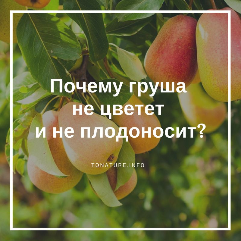 Почему не плодоносит груша на supersadovnik.ru