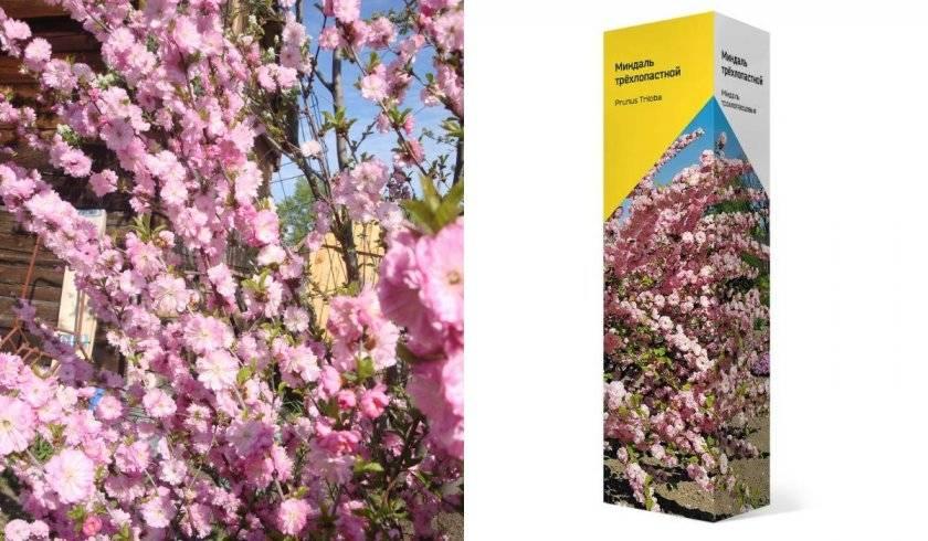 Кустарник миндаль: посадка и уход, фото и выращивание декоративного деревца