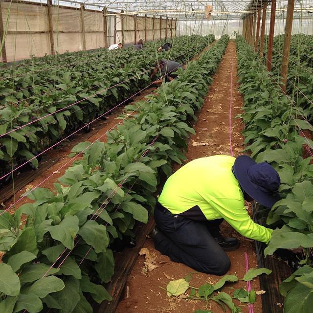 Баклажаны - выращивание и уход в теплице из поликарбоната