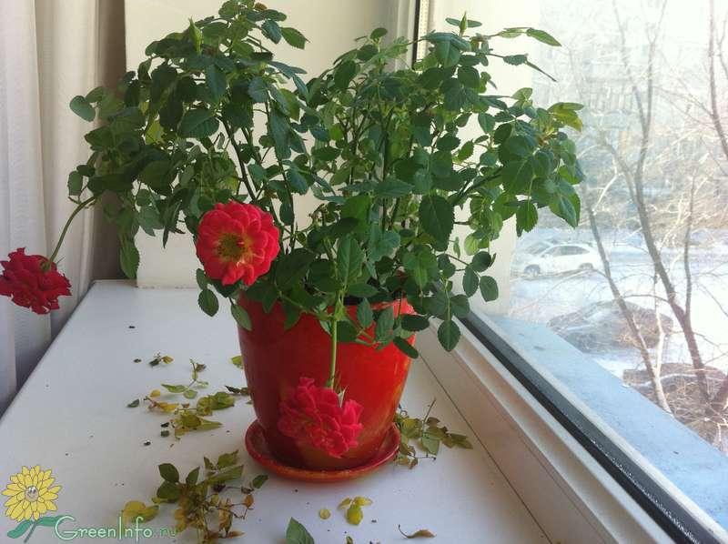 У розы опадают листья и сохнут бутоны: в чем причина?