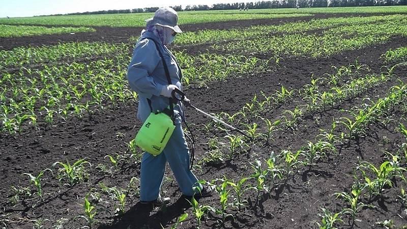 Посев кукурузы:глубина посева, норма высева, густота стояния растений и ширина междурядий