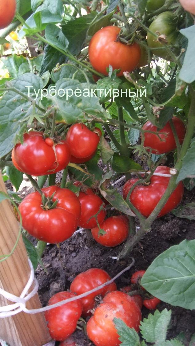 Описание и характеристики сорта томата турбореактивный - всё про сады