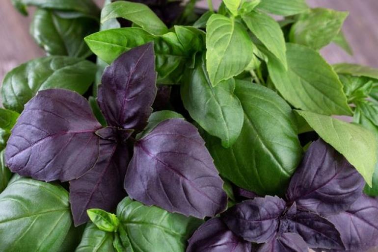 Полезные свойства и противопоказания фиолетового базилика для организма, его применение и сорта - всё про сады