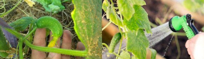 Болезни огурцов и их лечение в теплице и в открытом грунте, желтеют листья, как бороться