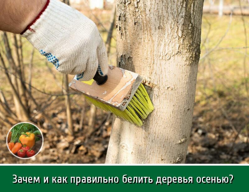 Побелка деревьев. тестируем составы