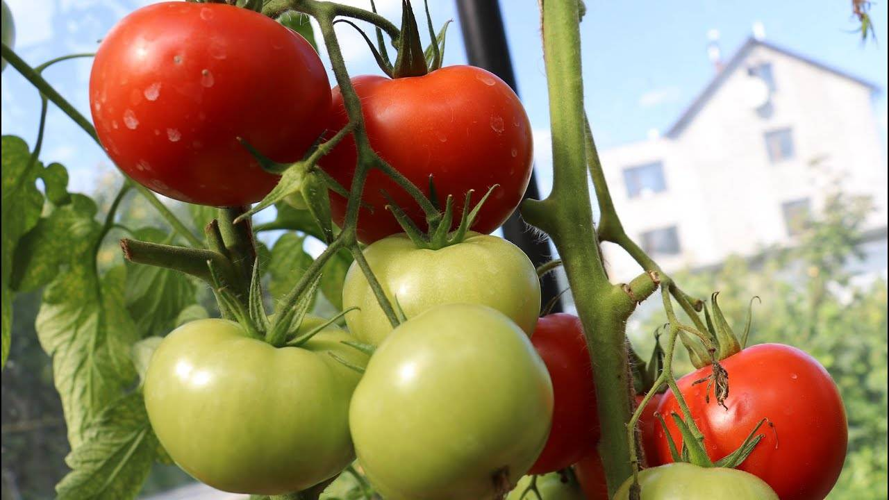Описание гибридного томата Львиное сердце и рекомендации по выращиванию сорта