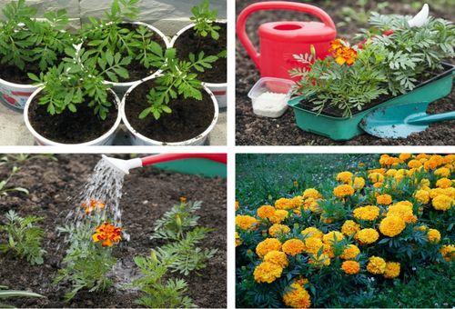 Цветы бархатцы — фото, виды, посадка и уход