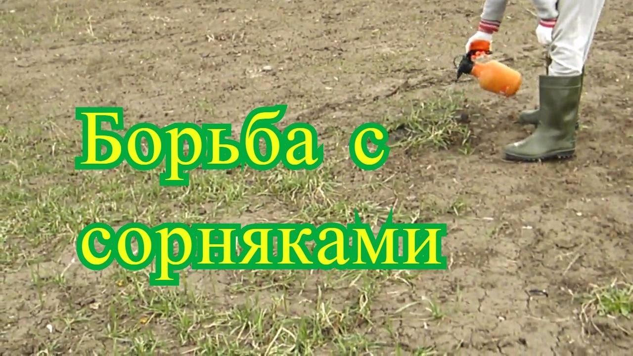 Пырей ползучий - методы борьбы, описание, симптомы и фото  bayer crop science россия