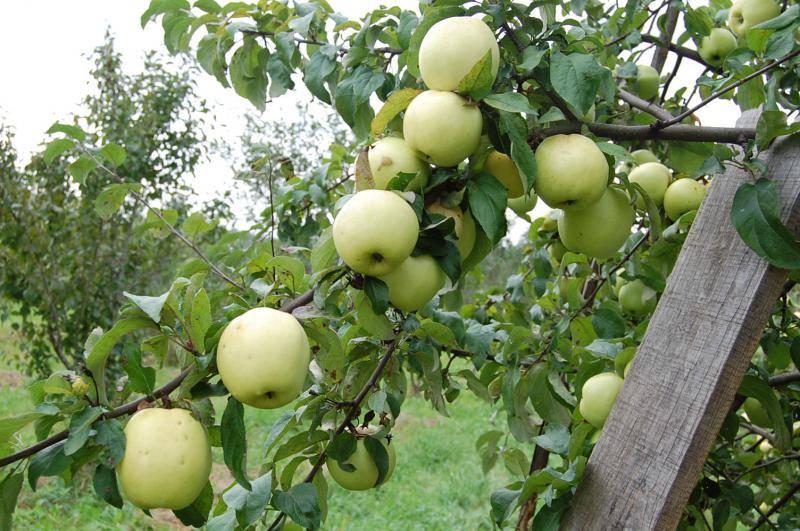 Описание и характеристики 22 лучших сортов яблонь для Подмосковья, чтобы посадить на даче