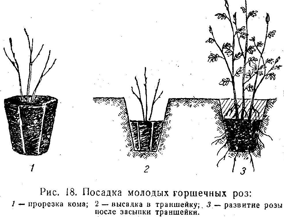 Парковая роза посадка и уход, выращивание, сорта с фото