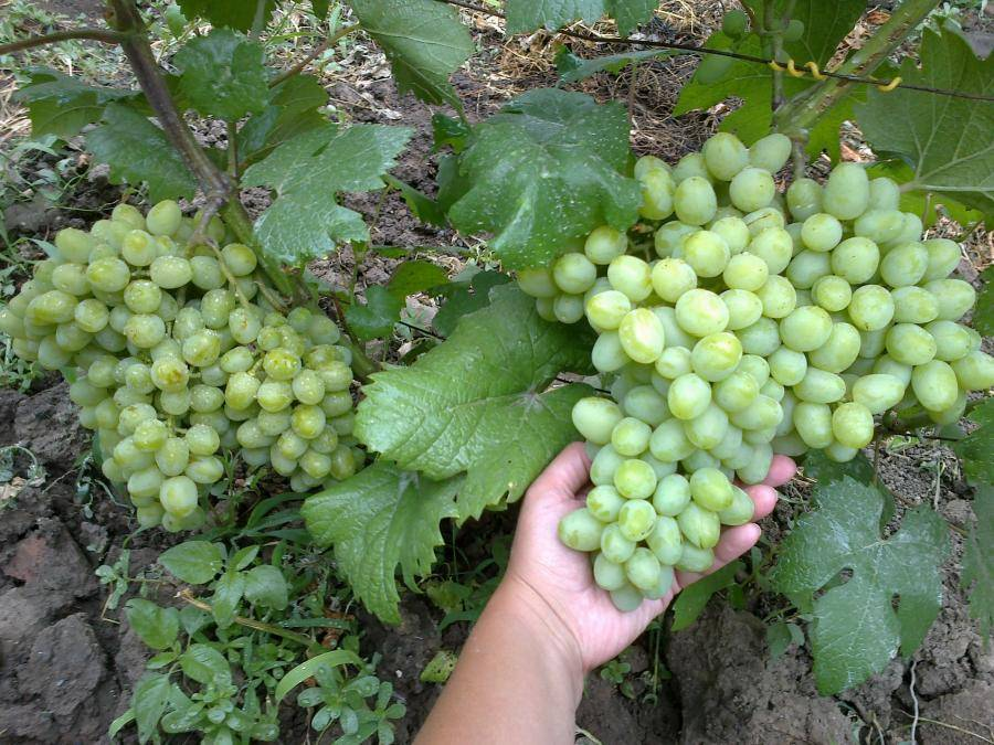 Виноград галахад: описание сорта, фото, посадка и уход