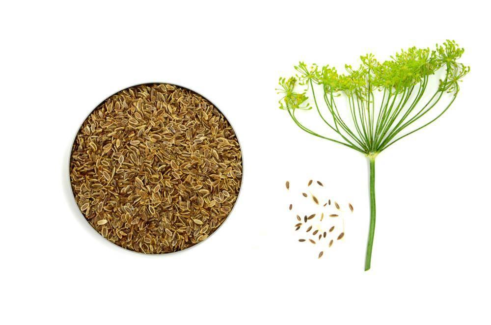 Укроп при цистите: семена, отвары, настои