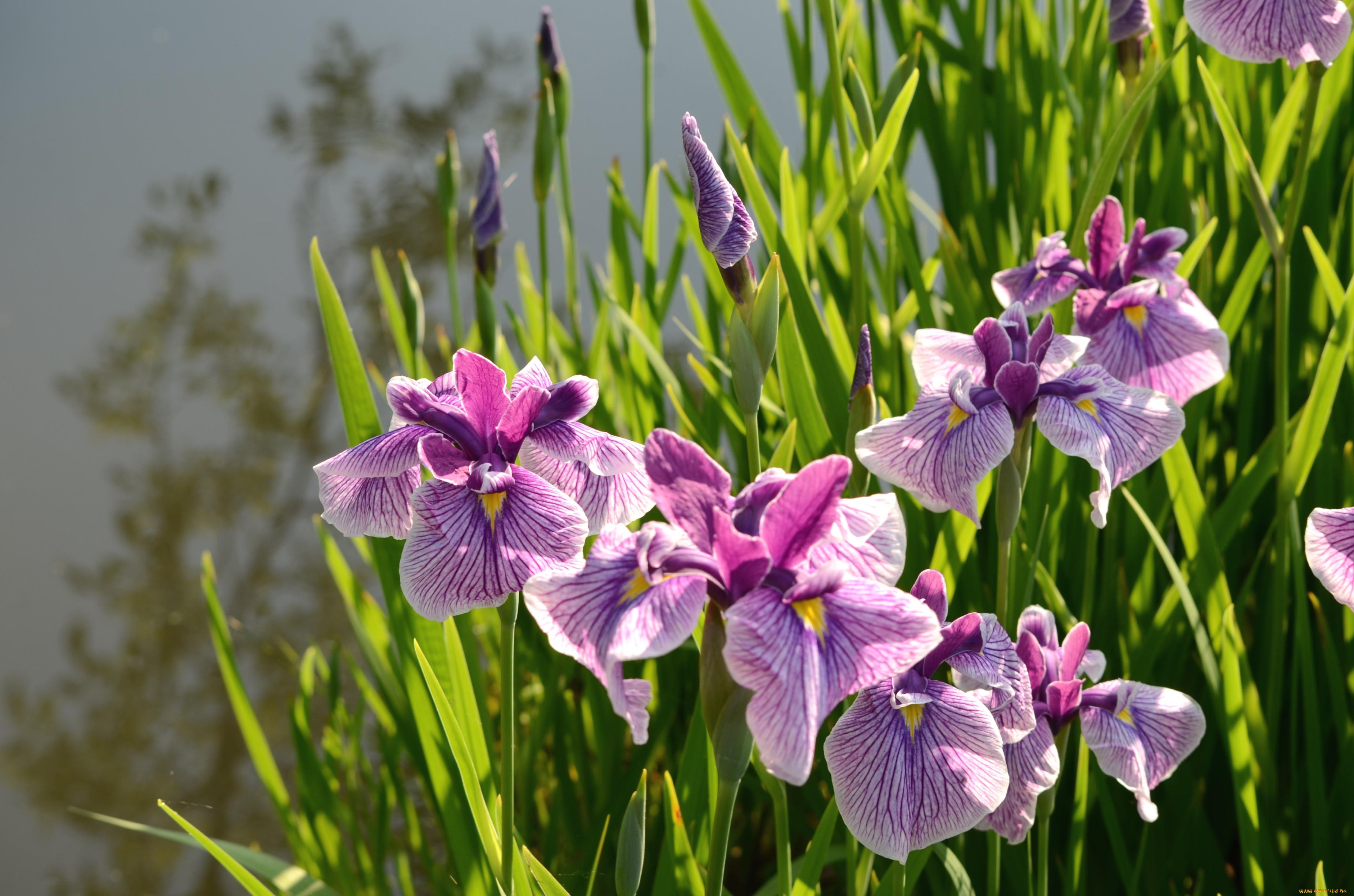 Ирисы (88 фото): посадка и уход за цветком в открытом грунте весной. как рассаживать петушки? как выглядят? каких цветов бывают касатики?