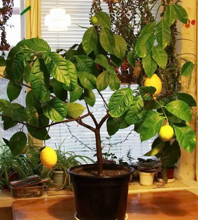 Павловский лимон в домашних условиях: уход, способы размножения, заболевания и вредители selo.guru — интернет портал о сельском хозяйстве