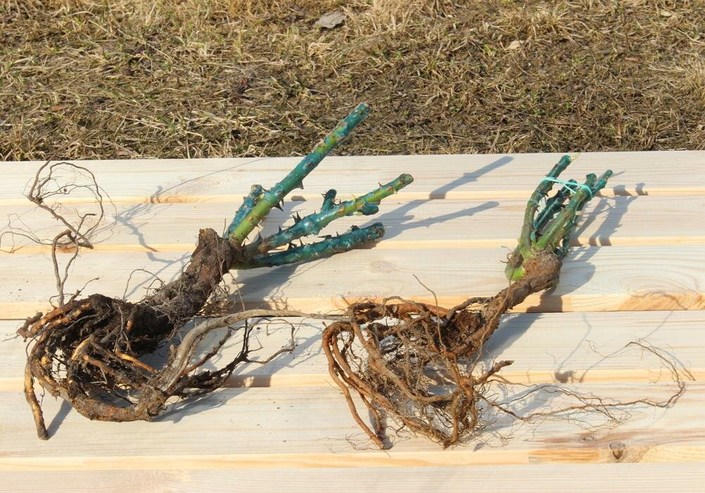Как сохранить саженцы роз до посадки: советы из практики